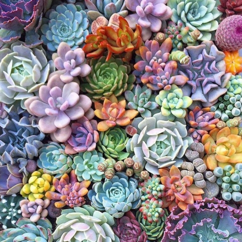 A rainbow of tightly packed succulent plants.